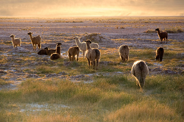 Lamas in the sunset