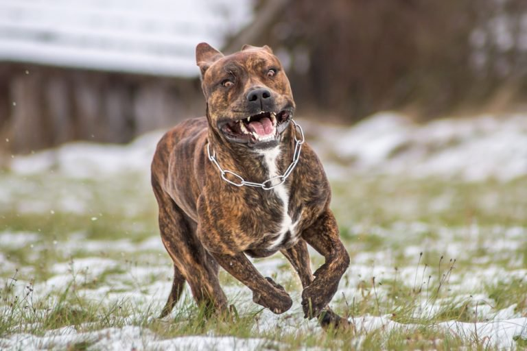 10 Most Dangerous Dog Breed In The World Nigeria Top List